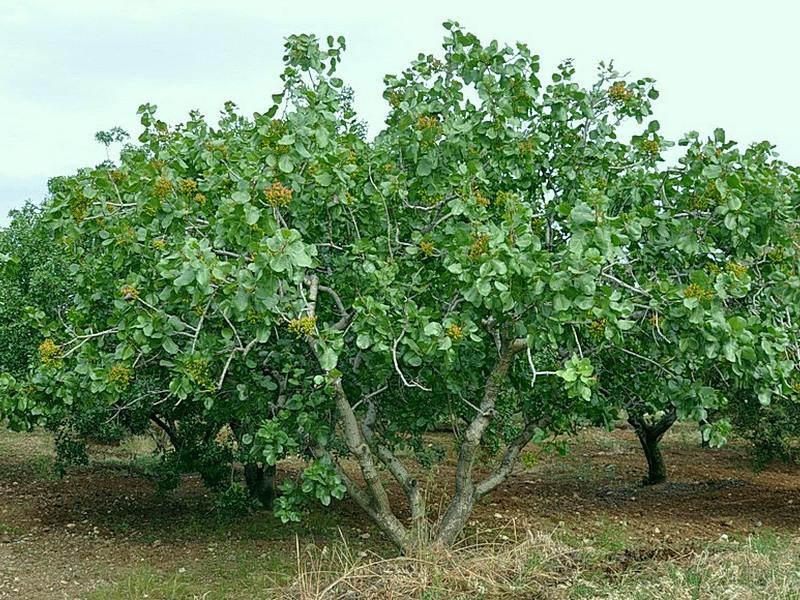 фото фисташки дерево